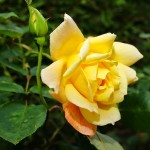 Rose Gardening Tips for Beginners