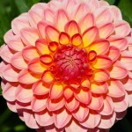 Dahlia -Beautiful Bulb Plants