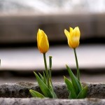 Tulips- Beautiful Bulb Flowers