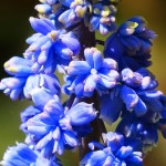 Muscari Armeniacum – Beautiful Bulb Flowers